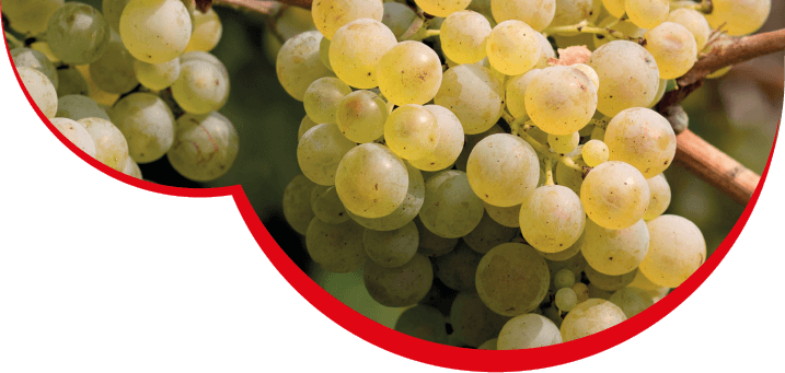 grappolo uva col miotin